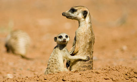 A still from the documentary The Meerkats