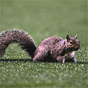 The Highbury squirrel