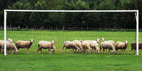 Sheep and a goalpost