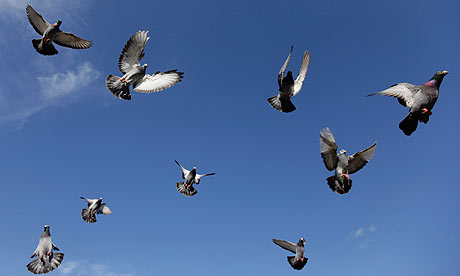 A flock of homing pigeons