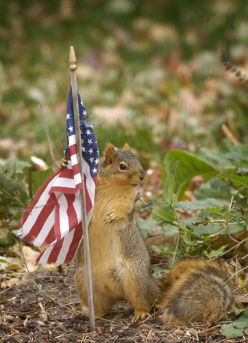 Gallery%20November%207%202008:%20Omaha,%20US:%20A%20squirrel%20tries%20to%20take%20some%20material%20from%20a%20flag