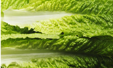 Leaves of cos romaine lettuce