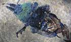 Giant Ant Fossil from Messel Site near Darmstadt, Germany