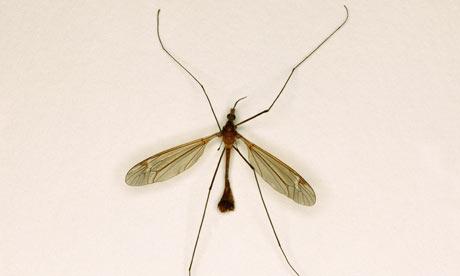 Daddy-Long-Legs-Crane-Fly-001.jpg