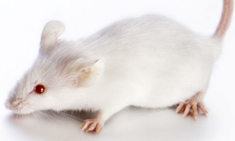Of mice and medicine: If a treatment works on rodents ...
