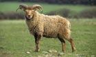 soay sheep farm park