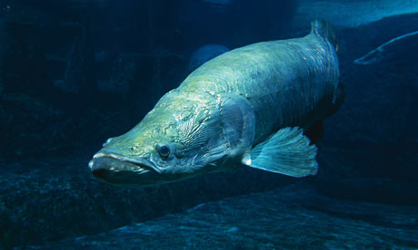 Angler 39 s file giant river fish faces extinction after for Fish of the amazon