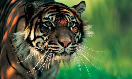 The rare Sumatran tiger