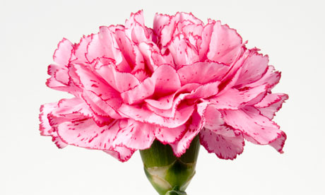 27 Best images about Carnations on Pinterest | Purple, Carnation ...