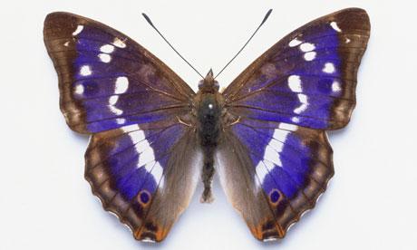 purple emperor butterf...