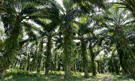 Mature palm oil trees in Malasyia