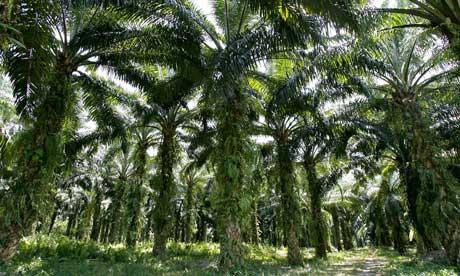 Mature palm oil trees in Malasyia