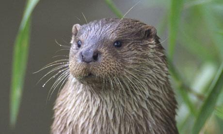 Otter (Lutra lutra), Norfolk, England
