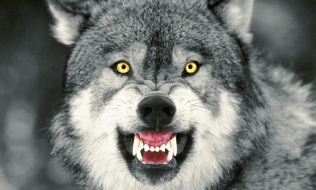 Snarling gray wolf 006