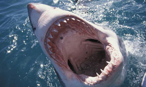 A great white shark off the South African coast