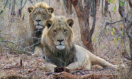 Lions at the SanWild sanctuary in Limpopo province, South Africa