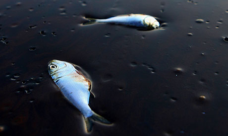 Poggy, or menhaden, fish lie dead and stuck in oil in Bay Jimmy, near Port Sulpher, Louisiana