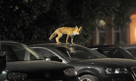 invasion-urban-foxes