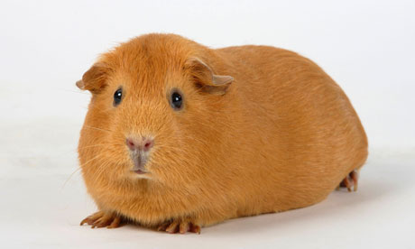guinea pig wordreferencecom dictionary of english party