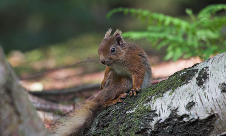 A red squirrel on Brownsea Island.