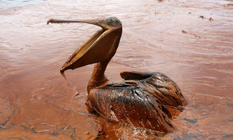 The Deepwater Horizon blast, which killed 11 workers, led to the biggest oil spill in US history, which affected wildlife such as pelicans. Photograph: Sean Gardner/Reuters