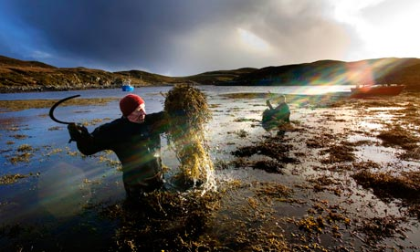 Kelp in South Uist