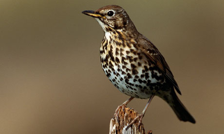 A song thrush perched on a post; their song is one of the classic sounds of early spring.