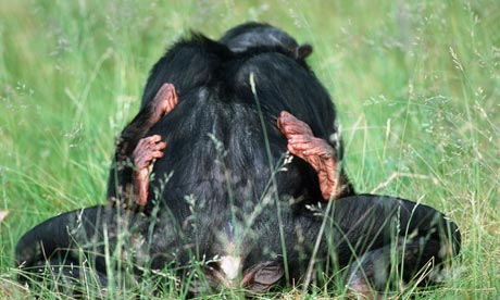 Pygmy-chimpanzees-mating-007.jpg