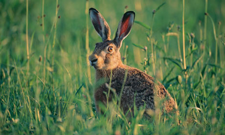 EUROPEAN COMMON HARE (LEPUS EUROPAEUS)