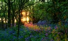 Bluebells lit by the setting sun