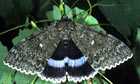 Clifden Nonpareilmoth