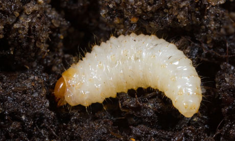 http://static.guim.co.uk/sys-images/Guardian/About/General/2011/5/5/1304614842239/Vine-Weevil-larvae-Otiorr-007.jpg