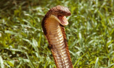 The 6 Most Venomous Snakes in India  WalkThroughIndia