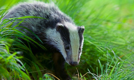 A badger foraging in daylight