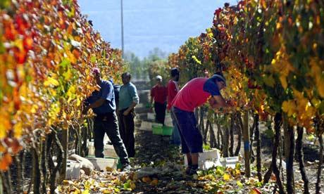Farmers pick grapes in Santiago