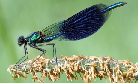 The abdomens of male banded demoiselles glisten a deep metallic blue in the sun