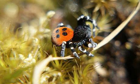 A rare ladybird spider