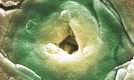 A close-up of a gastric pit