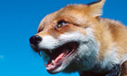 The 'feral' fox … 'existing in a wild or untamed state.'