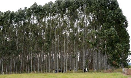 Gm eucalyptus trees 008