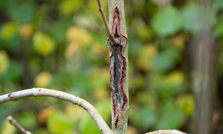 Young ash tree showing symptoms of Chalara fraxinea infection.