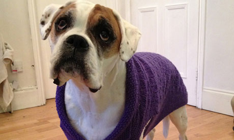 Violet, Michele Hanson's dog, in a coat knitted by a reader