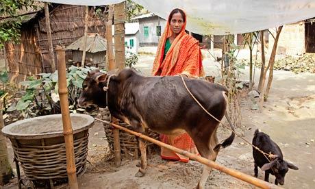 Bangladesh - Maleka Begum with her cow