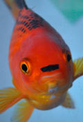 The goldfish that looks like Hitler