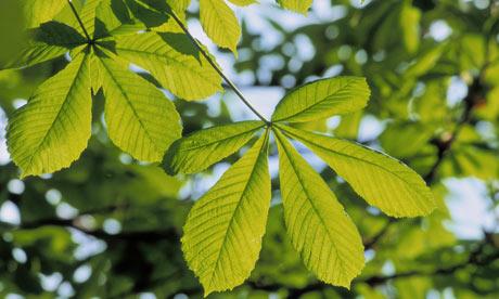 Horse chesnut leaves
