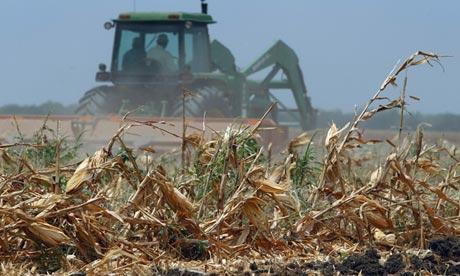 corn crop