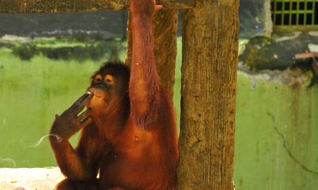 Tori the smoking orangutan, from the Guardian