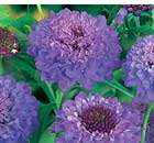 Plant of the week: Scabious 'Blue Jeans'