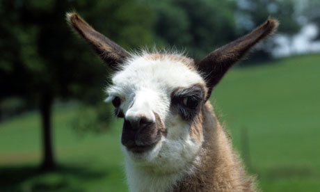 Llamas: ideal for protecting livestock from predators - but not people.