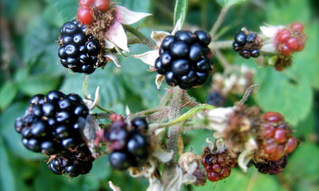 Countryside fruits 'late to ripen'